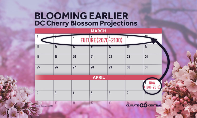 cherry blossom projections
