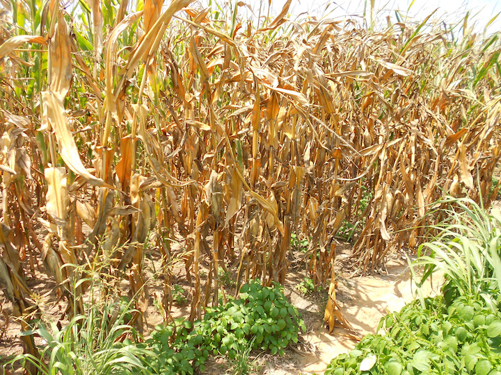 corn in drought