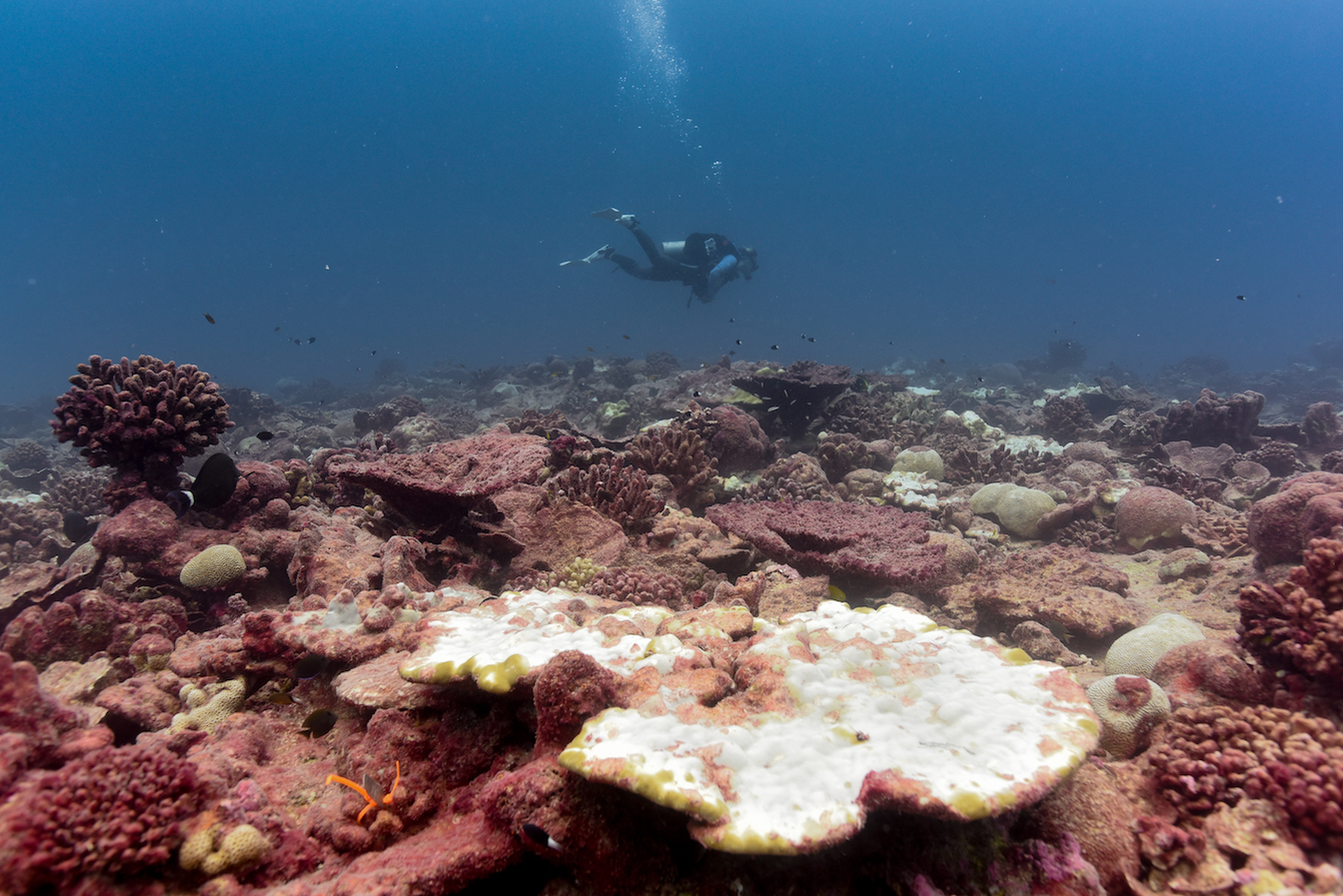 A large bleaching Porites coral colony in the foreground of a reef covered by algae
