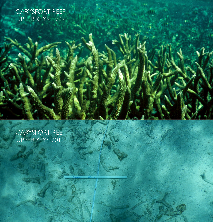 staghorn corals at carysfort reef